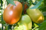 Roma tomatoes just ripening.
