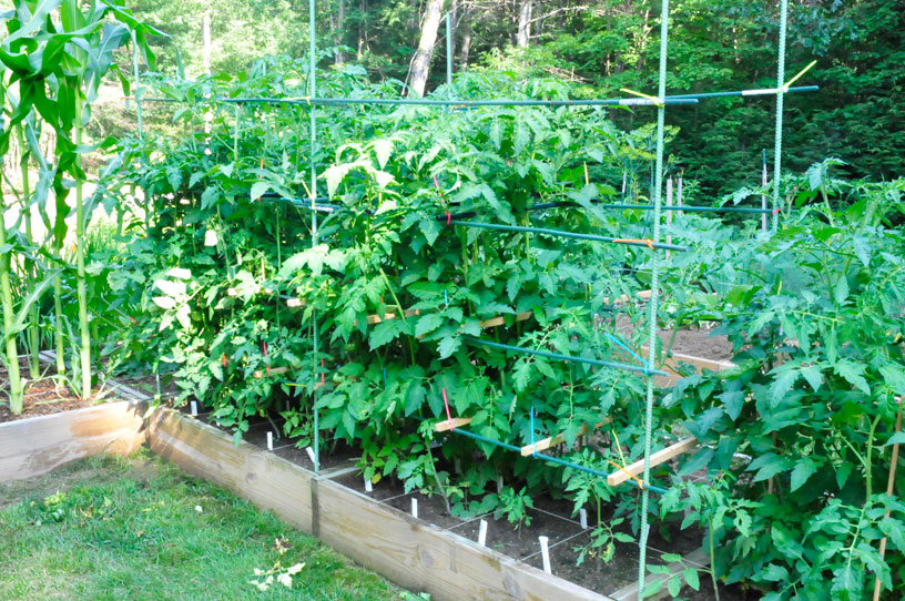 tomato cages | The Small Space, Big Harvest Garden